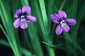 Photo Purple Violet